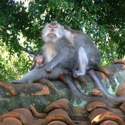 Bali, Ubud – macacos e macaquinhos